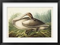 Framed Pl 376 Trumpeter Swan