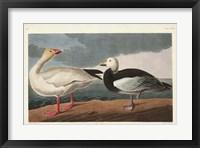 Framed Pl 381 Snow Goose