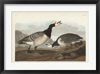 Framed Pl 296 Barnacle Goose