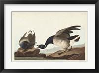 Framed Pl 391 Brant Goose