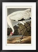 Framed Pl 226 Hooping Crane