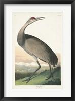 Framed Pl 261 Hooping Crane