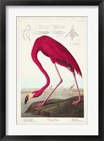 Framed Pl 431 American Flamingo