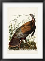 Framed Pl 1 Wild Turkey
