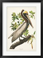 Framed Pl 251 Brown Pelican