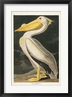 Framed Pl 311 American White Pelican