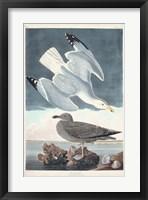 Framed Pl 291 Herring Gull