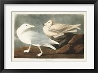 Framed Pl 396 Burgomaster Gull