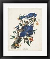 Framed Pl 102 Blue Jay