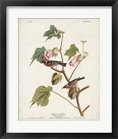 Framed Pl 69 Bay-breasted Warbler