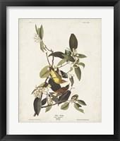 Framed Pl 163 Pine Warbler