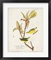 Framed Pl 38 Kentucky Warbler