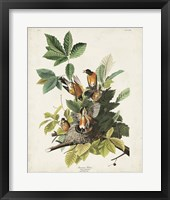 Framed Pl 131 American Robin