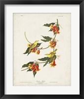 Framed Pl 65 Rathbone Warbler