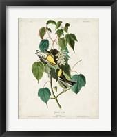 Framed Pl 134 Hemlock Warbler