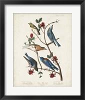 Framed Pl 393 Townsend's Warbler