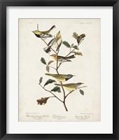 Framed Pl 399 Black-throated Green Warbler