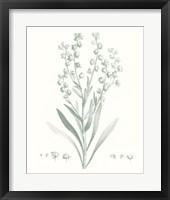 Framed Botanical Study in Sage I