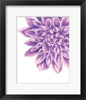 Framed Purple Chrysanthemum