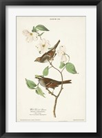 Framed Pl.8 White-throated Sparrow
