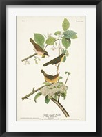 Framed Pl. 23 Yellow-breasted Warbler