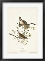 Framed Pl. 25 Song Sparrow