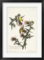 Framed Pl. 33 American Gold Finch