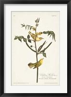 Framed Pl. 35 Children's Warbler