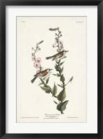 Framed Pl. 59 Chestnut-sided Warbler