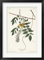 Framed Pl. 95 Blue-eyed Yellow Warbler