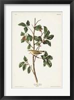Framed Pl. 154 Tennessee Warbler