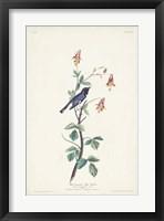 Framed Pl. 155 Black-throated Blue Warbler