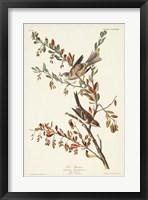 Framed Pl. 188 Tree Sparrow