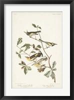 Framed Pl. 414 Golden-winged Warbler
