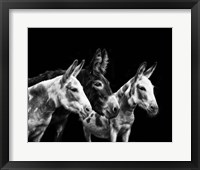 Framed Donkey Portrait II