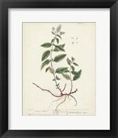 Framed Antique Herbs VII