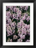 Framed Hyacinth Closeup