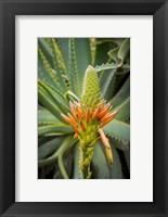 Framed African Aloe
