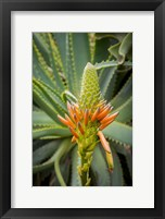 Framed African Aloe