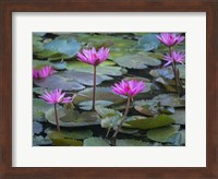 Framed Pink Water Lilies