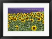 Framed Sunflowers Blooming Near Lavender Fields During Summer