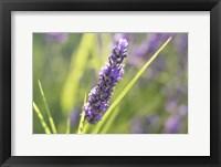 Framed Close-Up Of Lavender Blooms