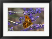 Framed Marbled Butterfly On Valensole
