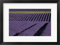 Framed Lavender Fields On Valensole Plain, Provence, Southern France