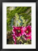 Framed Hollyhocks Flowers Blooming In Provence