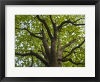 Framed Giant Oak Hainich Woodland In Thuringia, Germany
