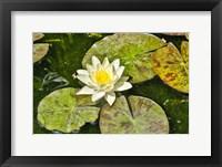 Framed Lily Pad