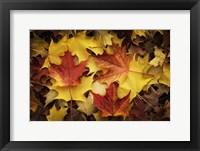 Framed Maples Leaves In Autumn