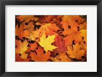 Framed Red, Orange And Yellow Maples Leaves In Autumn