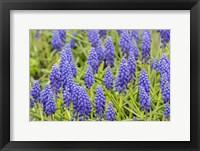 Framed Grape Hyacinth